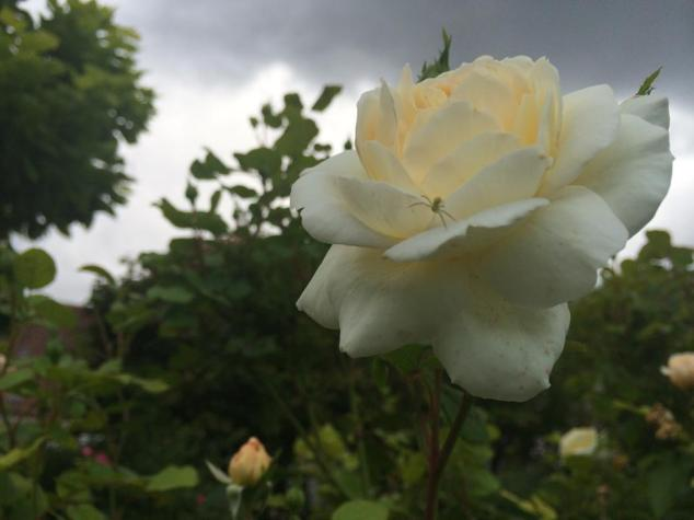 rosespider